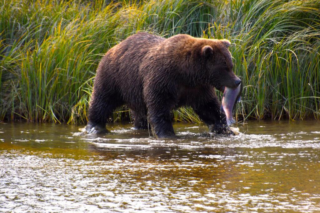bear caught fish